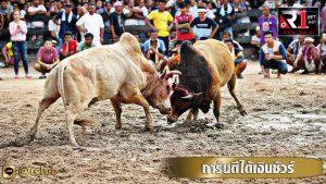 แทงพนันวัวชน